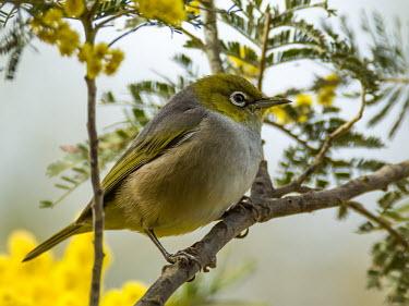 Silvereye - Australia Silvereye,Animalia,Chordata,Aves,Passeriformes,Zosteropidae,Zosterops lateralis,bird,birds