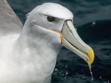 Shy albatross - Australia Shy albatross,Thalassarche cauta,Chordates,Chordata,Aves,Birds,Albatrosses,Diomedeidae,Ciconiiformes,Herons Ibises Storks and Vultures,Procellariiformes,Albatrosses, Petrels,Diomedea cauta,Thalassarch