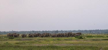 Large herd of Asian elephants - Bengal Asian elephant,Elephas maximus,Mammalia,Mammals,Elephants,Elephantidae,Chordates,Chordata,Elephants, Mammoths, Mastodons,Proboscidea,Indian elephant,Elefante Asi�tico,El�phant D'Asie,El�phant D'Inde,A