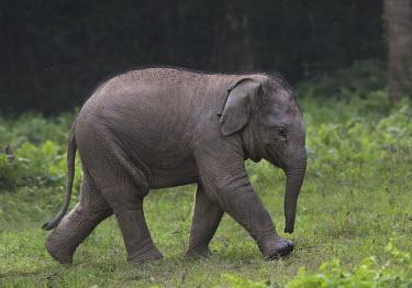 Asian elephant calf - Bengal Asian elephant,Elephas maximus,Mammalia,Mammals,Elephants,Elephantidae,Chordates,Chordata,Elephants, Mammoths, Mastodons,Proboscidea,Indian elephant,Elefante Asi�tico,El�phant D'Asie,El�phant D'Inde,A