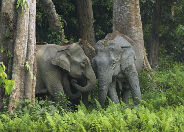 Herd of Asian elephants emerging from forest - Bengal Asian elephant,Elephas maximus,Mammalia,Mammals,Elephants,Elephantidae,Chordates,Chordata,Elephants, Mammoths, Mastodons,Proboscidea,Indian elephant,Elefante Asi�tico,El�phant D'Asie,El�phant D'Inde,A