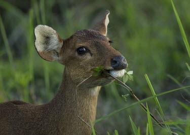 Hog deer - Bengal Hog deer,Axis porcinus,Chordates,Chordata,Even-toed Ungulates,Artiodactyla,Cervidae,Deer,Mammalia,Mammals,Thai hog deer,Hyelaphus porcinus,Cervus porcinus,Indochinese hog deer,Cerf-cochon,Cerf Des Mar