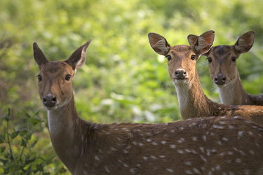Chital - Bengal Chital,Axis axis,Chordates,Chordata,Mammalia,Mammals,Cervidae,Deer,Even-toed Ungulates,Artiodactyla,Axis deer,Indian spotted deer,Cerf Axis,Asia,South America,Forest,Animalia,Axis,Grassland,Temperate,