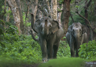 Asian elephants marching through forest - Bengal Asian elephant,Elephas maximus,Mammalia,Mammals,Elephants,Elephantidae,Chordates,Chordata,Elephants, Mammoths, Mastodons,Proboscidea,Indian elephant,Elefante Asi�tico,El�phant D'Asie,El�phant D'Inde,A