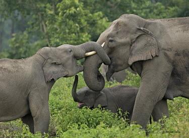 Asian elephant family - Bengal Asian elephant,Elephas maximus,Mammalia,Mammals,Elephants,Elephantidae,Chordates,Chordata,Elephants, Mammoths, Mastodons,Proboscidea,Indian elephant,Elefante Asi�tico,El�phant D'Asie,El�phant D'Inde,A