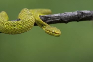 White-lipped pit viper - Bengal White-lipped pitviper,White-lipped tree viper,Animalia,Chordata,Reptilia,Squamata,Viperidae,Cryptelytrops albolabris,snake,snakes,viper,White-lipped pit viper
