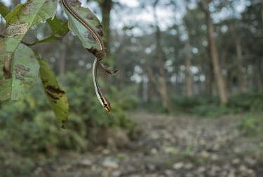 Painted bronzeback tree snake - Bengal Painted bronzeback tree snake,snake,Painted bronzeback,snakes,Animalia,Chordata,Reptilia,Squamata,Serpentes,Colubridae,Dendrelaphis,Dendrelaphis pictus