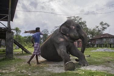 A man beating an Asian elephant with a sack - Bengal chains,captive,Asian elephant,Elephas maximus,Mammalia,Mammals,Elephants,Elephantidae,Chordates,Chordata,Elephants, Mammoths, Mastodons,Proboscidea,Indian elephant,Elefante Asi�tico,El�phant D'Asie,El