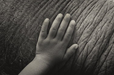 Human hand on the skin of an Asian elephant - Bengal Asian elephant,Elephas maximus,Mammalia,Mammals,Elephants,Elephantidae,Chordates,Chordata,Elephants, Mammoths, Mastodons,Proboscidea,Indian elephant,Elefante Asi�tico,El�phant D'Asie,El�phant D'Inde,A