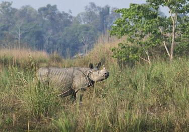 Indian rhinoceros - Bengal Indian rhinoceros,Rhinoceros unicornis,Rhinocerous,Rhinocerotidae,Mammalia,Mammals,Chordates,Chordata,Perissodactyla,Odd-toed Ungulates,greater one-horned rhinoceros,Asian one-horned rhinoceros,great
