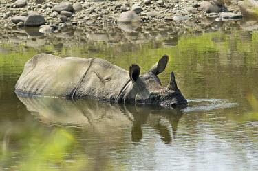 Indian rhinoceros submerged in water - Bengal Indian rhinoceros,Rhinoceros unicornis,Rhinocerous,Rhinocerotidae,Mammalia,Mammals,Chordates,Chordata,Perissodactyla,Odd-toed Ungulates,greater one-horned rhinoceros,Asian one-horned rhinoceros,great