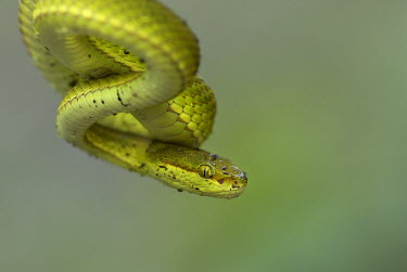 White-lipped pit viper - Bengal Close up,Green background,yellow,Green,scale,scaly,Scales,colours,color,colors,Colour,blur,selective focus,blurry,depth of field,Shallow focus,blurred,soft focus,coloration,Colouration,White-lipped pi