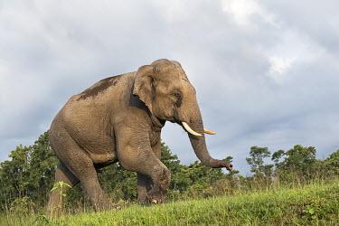 Asian elephant - Bengal Asian elephant,Elephas maximus,Mammalia,Mammals,Elephants,Elephantidae,Chordates,Chordata,Elephants, Mammoths, Mastodons,Proboscidea,Indian elephant,Elefante Asi�tico,El�phant D'Asie,El�phant D'Inde,A