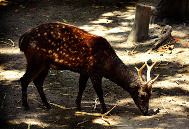 Visayan spotted deer - Philippines Visayan spotted deer,Rusa alfredi,Cervidae,Deer,Even-toed Ungulates,Artiodactyla,Chordates,Chordata,Mammalia,Mammals,Cervus alfredi,Philippine spotted deer,Terrestrial,Animalia,Endangered,Asia,Rusa,Ce