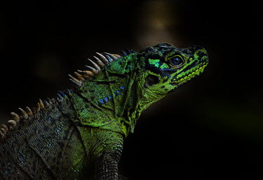 Sail-fin lizard - Philippines Facial portrait,face,colours,color,colors,Colour,Green,Neon,glowing,glow,scale,scaly,Scales,blur,selective focus,blurry,depth of field,Shallow focus,blurred,soft focus,Portrait,face picture,face shot,