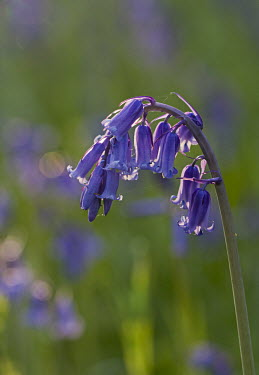 Bluebell - England Terrestrial,ground,Green background,Close up,coloration,Colouration,Grassland,Macro,macrophotography,environment,ecosystem,Habitat,violet,indigo,Purple,colours,color,colors,Colour,Bluebell,Hyacinthoid