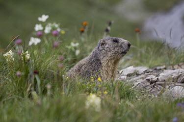 Alpine marmot - Europe environment,ecosystem,Habitat,Grassland,wildflower meadow,Meadow,Close up,Terrestrial,ground,blur,selective focus,blurry,depth of field,Shallow focus,blurred,soft focus,north American grassland,Prairi