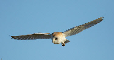 Barn owl - UK action,movement,move,Moving,in action,in motion,motion,in-air,in flight,flight,in-flight,flap,Flying,fly,in air,flapping,Sky,blue skies,sunny,Blue sky,bright,Blue background,bird of prey,raptor,bird,b