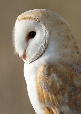 Barn owl - UK blur,selective focus,blurry,depth of field,Shallow focus,blurred,soft focus,Facial portrait,face,Close up,Portrait,face picture,face shot,bird of prey,raptor,bird,birds,carnivore,Barn owl,Tyto alba,Bi