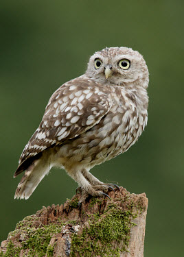 Little owl - UK bird of prey,raptor,bird,birds,carnivore,Little owl,Athene noctua,Birds,Birds of Prey,True Owls,Strigidae,Aves,Owls,Strigiformes,Chordates,Chordata,Tibet owl,northern little owl,Chouette chev�che,Agri