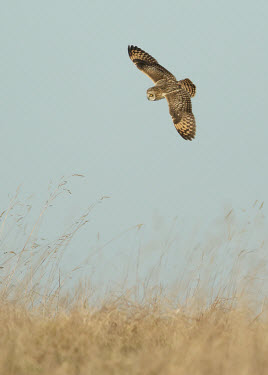 Short-eared owl - UK bird of prey,raptor,bird,birds,carnivore,Short-eared owl,Asio flammeus,Birds,Birds of Prey,Owls,Strigiformes,True Owls,Strigidae,Aves,Chordates,Chordata,Hibou des marais,Flying,Animalia,Terrestrial,Ap