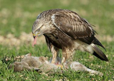 Rough-legged hawk - UK food,feed,hungry,eat,hunger,Feeding,eating,predation,hunt,hunter,stalking,Hunting,stalker,stalk,bird of prey,raptor,bird,birds,carnivore,Rough-legged hawk,Buteo lagopus,Birds,Birds of Prey,Falconiform