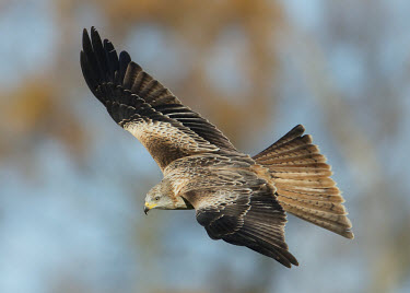Red kite - UK action,movement,move,Moving,in action,in motion,motion,in-air,in flight,flight,in-flight,flap,Flying,fly,in air,flapping,bird of prey,raptor,bird,birds,carnivore,Red kite,Milvus milvus,Birds,Birds of