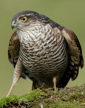 Eurasian sparrowhawk - UK bird of prey,raptor,bird,birds,carnivore,Eurasian sparrowhawk,Accipiter nisus,Birds,Birds of Prey,Chordates,Chordata,Aves,Ciconiiformes,Herons Ibises Storks and Vultures,Accipitridae,Hawks, Eagles, Ki