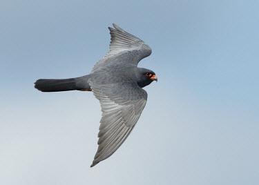 Red-footed falcon - UK bird of prey,raptor,bird,birds,carnivore,Red-footed falcon,Falco vespertinus,Birds,Birds of Prey,Ciconiiformes,Herons Ibises Storks and Vultures,Falcons, Caracaras,Falconidae,Aves,Falconiformes,Hawks