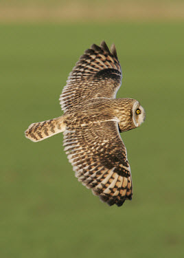 Short-eared owl - UK predation,hunt,hunter,stalking,Hunting,stalker,hungry,stalk,hunger,in-air,in flight,flight,in-flight,flap,Flying,fly,in air,flapping,action,movement,move,Moving,in action,in motion,motion,blur,selecti