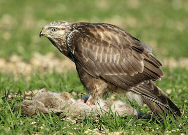 Rough-legged hawk - UK predation,hunt,hunter,stalking,Hunting,stalker,hungry,stalk,hunger,food,feed,eat,Feeding,eating,bird of prey,raptor,bird,birds,carnivore,Rough-legged hawk,Buteo lagopus,Birds,Birds of Prey,Falconiform