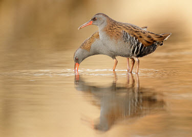 Water rail - UK predation,hunt,hunter,stalking,Hunting,stalker,hungry,stalk,hunger,Lake,lakes,Reflection,Orange background,blur,selective focus,blurry,depth of field,Shallow focus,blurred,soft focus,environment,ecosy