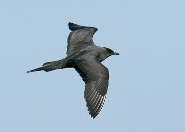 Parasitic jaeger - UK sky,Sky background,saltwater,Marine,saline,action,movement,move,Moving,in action,in motion,motion,Sea,seas,in-air,in flight,flight,in-flight,flap,Flying,fly,in air,flapping,bird,birds,seabird,sea bird