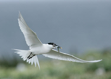 Sandwich tern - UK coast,Coastal,coast line,coastline,action,movement,move,Moving,in action,in motion,motion,markings,marking,coloration,Colouration,Capped,cap,predation,hunt,hunter,stalking,Hunting,stalker,hungry,stalk