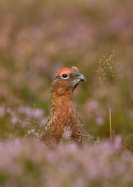 Red grouse - UK Heathland,Heath,environment,ecosystem,Habitat,Terrestrial,ground,blur,selective focus,blurry,depth of field,Shallow focus,blurred,soft focus,Shrubland,game bird,bird,birds,Red grouse,Lagopus lagopus,B