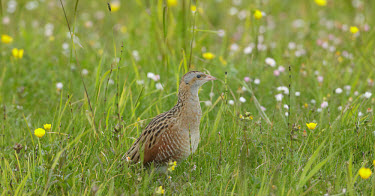 Corncrake - UK Corncrake,Crex crex,Birds,Grouse,Rallidae,Coots, Rails, Waterhens,Gruiformes,Rails and Cranes,Chordates,Chordata,Aves,R�le des gen�ts,Wildlife and Conservation Act,Africa,Omnivorous,Flying,Agricultura