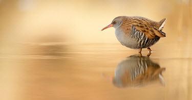 Water rail - UK Orange background,environment,ecosystem,Habitat,predation,hunt,hunter,stalking,Hunting,stalker,hungry,stalk,hunger,Reflection,Lake,lakes,blur,selective focus,blurry,depth of field,Shallow focus,blurre