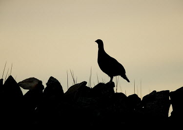 Red grouse silhouetted on a stone wall - UK game bird,bird,birds,Red grouse,Lagopus lagopus,Birds,Grouse,Chordates,Chordata,Gallinaeous Birds,Galliformes,Aves,Phasianidae,Grouse, Partridges, Pheasants, Quail, Turkeys,Willow ptarmigan,Willow gro