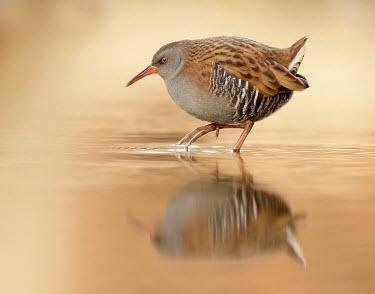 Water rail - UK predation,hunt,hunter,stalking,Hunting,stalker,hungry,stalk,hunger,Reflection,Lake,lakes,environment,ecosystem,Habitat,blur,selective focus,blurry,depth of field,Shallow focus,blurred,soft focus,Orang