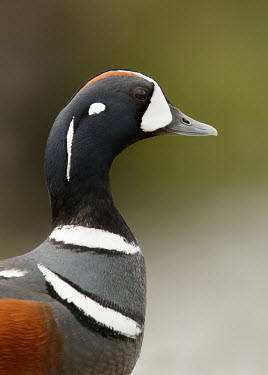Harlequin duck - UK fresh water,Freshwater,markings,marking,Aquatic,water,water body,environment,ecosystem,Habitat,blur,selective focus,blurry,depth of field,Shallow focus,blurred,soft focus,coloration,Colouration,Lake,l