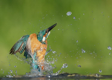 Kingfisher - UK in-air,in flight,flight,in-flight,flap,Flying,fly,in air,flapping,predation,hunt,hunter,stalking,Hunting,stalker,hungry,stalk,hunger,splashes,splash,Splashing,River,rivers,Green background,blur,select
