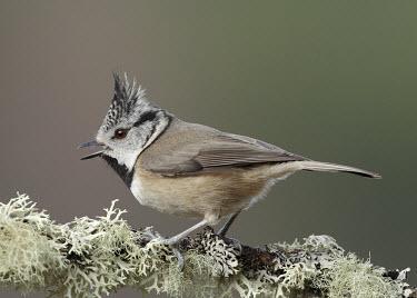 Crested tit - UK Crested tit,Animalia,Chordata,Aves,Passeriformes,Paridae,Lophophanes cristatus,Birds,Little birds