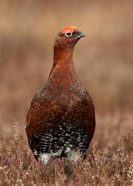 Red grouse - UK Shrubland,Heathland,Heath,environment,ecosystem,Habitat,blur,selective focus,blurry,depth of field,Shallow focus,blurred,soft focus,Terrestrial,ground,game bird,bird,birds,Red grouse,Lagopus lagopus,B