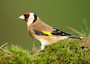 Goldfinch - UK colours,color,colors,Colour,Multi-coloured,multicoloured,multi-colored,colorful,multicolored,colourful,markings,marking,coloration,Colouration,mask,Masked,environment,ecosystem,Habitat,gardens,Garden,