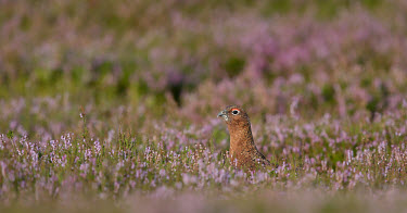 Red grouse - UK Heathland,Heath,blur,selective focus,blurry,depth of field,Shallow focus,blurred,soft focus,environment,ecosystem,Habitat,Terrestrial,ground,Shrubland,game bird,bird,birds,Red grouse,Lagopus lagopus,B