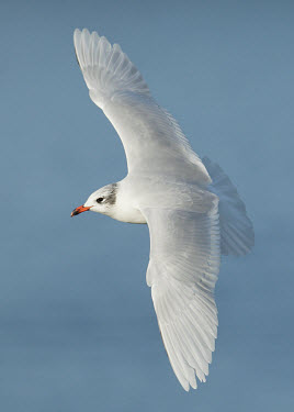 Mediterranean gull - UK Aquatic,water,water body,blur,selective focus,blurry,depth of field,Shallow focus,blurred,soft focus,action,movement,move,Moving,in action,in motion,motion,environment,ecosystem,Habitat,in-air,in flig