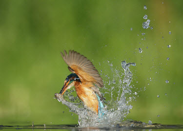 Kingfisher - UK action,movement,move,Moving,in action,in motion,motion,Green background,blur,selective focus,blurry,depth of field,Shallow focus,blurred,soft focus,in-air,in flight,flight,in-flight,flap,Flying,fly,in