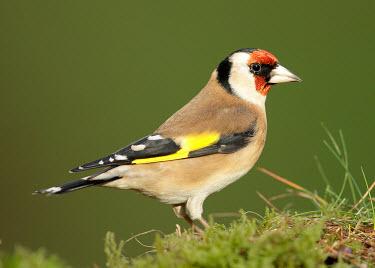 Goldfinch - UK blur,selective focus,blurry,depth of field,Shallow focus,blurred,soft focus,gardens,Garden,markings,marking,environment,ecosystem,Habitat,coloration,Colouration,mask,Masked,colours,color,colors,Colour