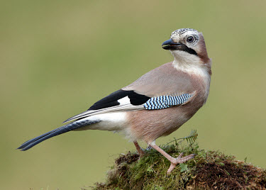 Jay - UK environment,ecosystem,Habitat,coloration,Colouration,gardens,Garden,Perching,perched,perch,Green background,blur,selective focus,blurry,depth of field,Shallow focus,blurred,soft focus,colours,color,co