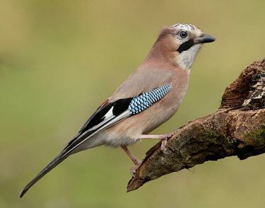 Jay - UK colours,color,colors,Colour,gardens,Garden,Green background,blur,selective focus,blurry,depth of field,Shallow focus,blurred,soft focus,Perching,perched,perch,Multi-coloured,multicoloured,multi-colore